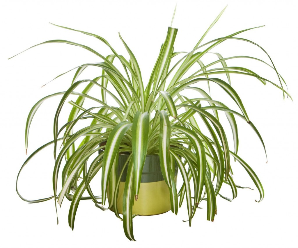 One of the most adaptable of houseplants and the easiest to grow.