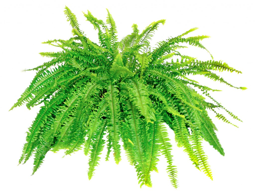 Boston ferns prefer to clean the air from a cool location with high humidity and indirect light