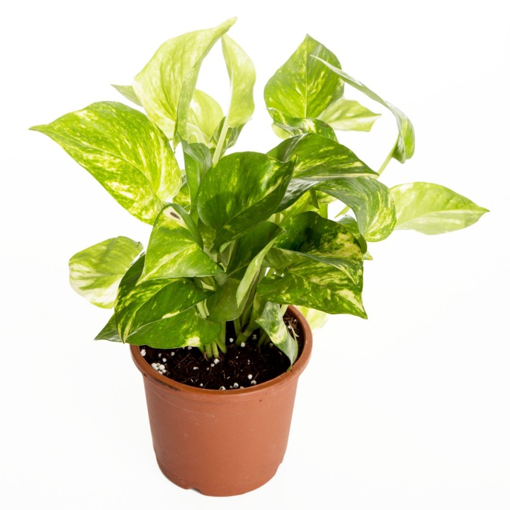 The plant has a multitude of common names including devil's ivy, golden pothos, hunter's robe, ivy arum, money plant, silver vine, Solomon Islands ivy and taro vine.