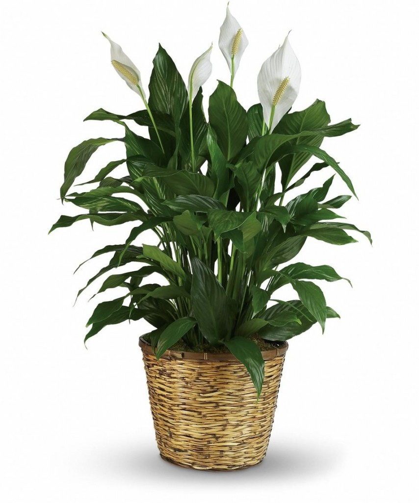Pristine white blooms are a bonus with this efficient Peace Lilly plant