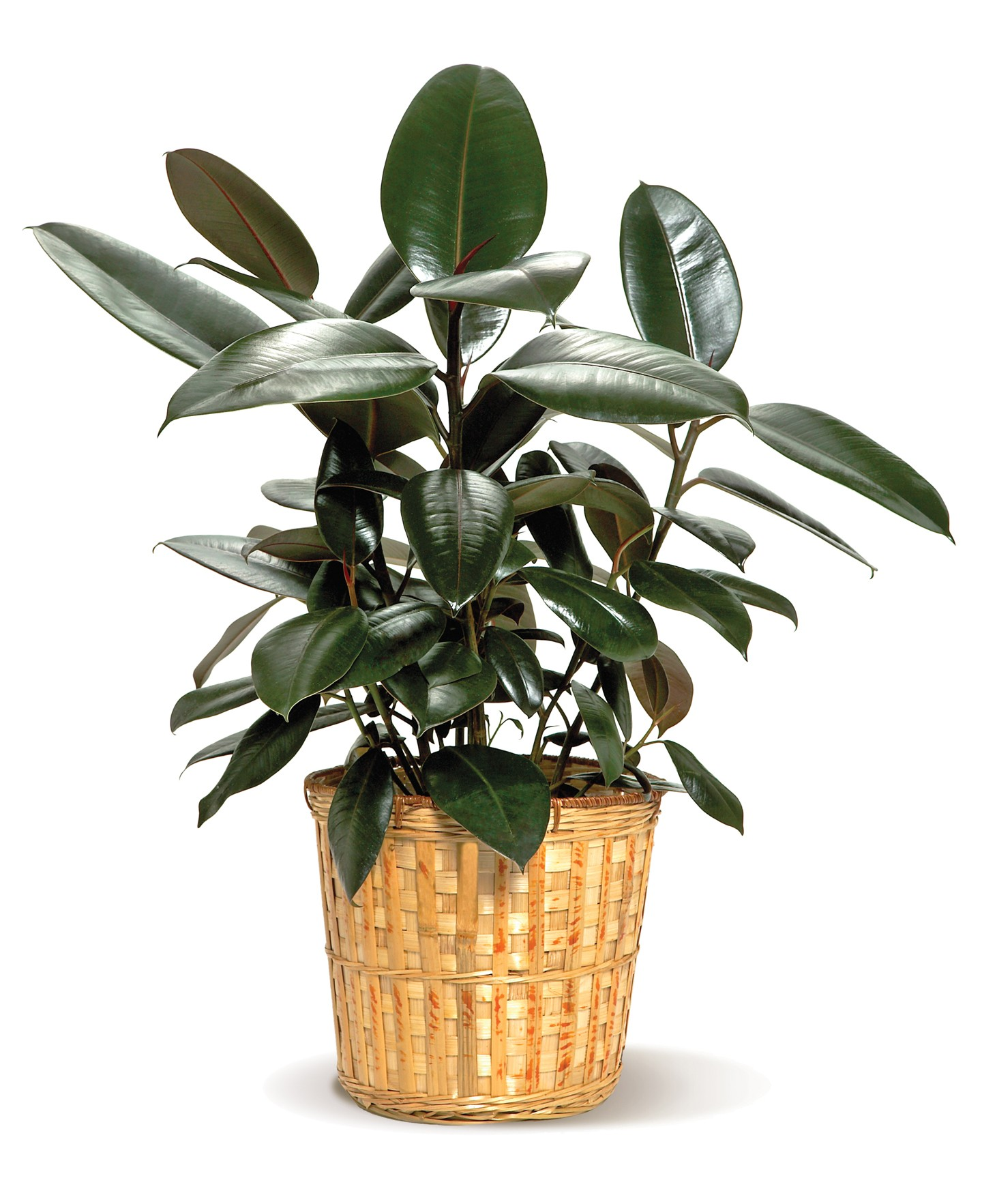 Their leaves are typically broad, deep green and shiny. However, some  varieties exhibit